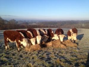 Steers at Turners in Feb
